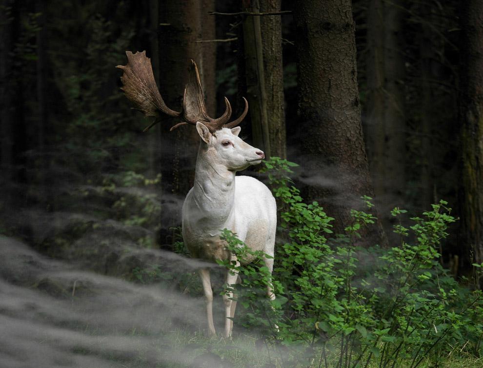 Лань в Национальном парке Эйфель, Германия