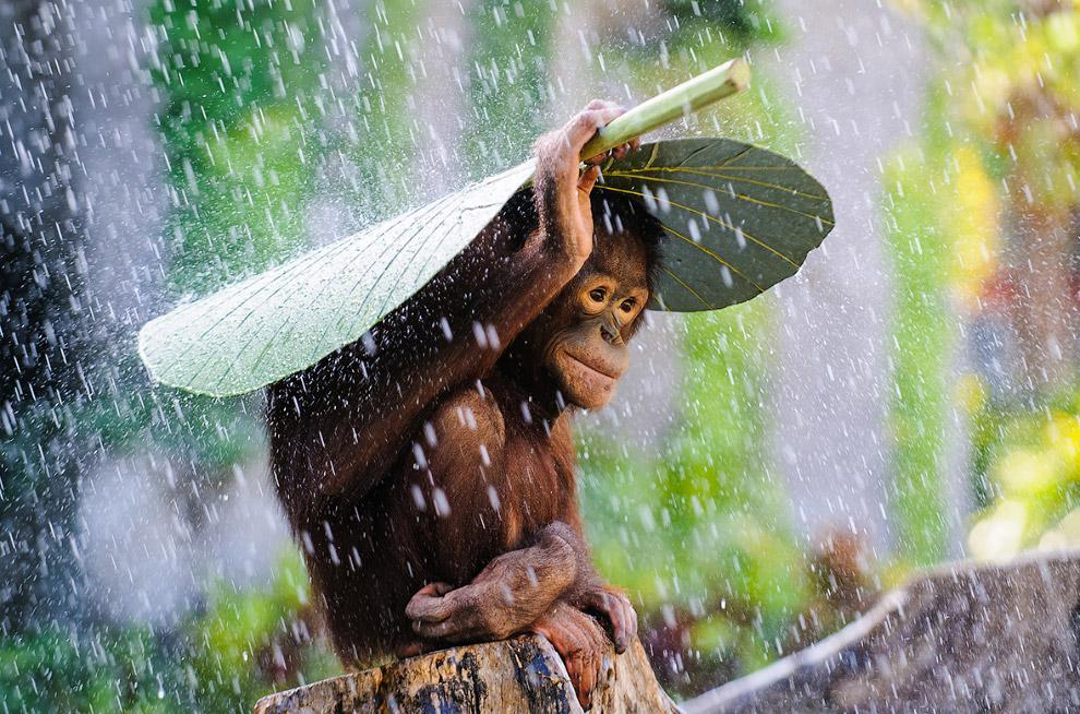 Орангутанг спасается от ливня под банановым листом, Бали