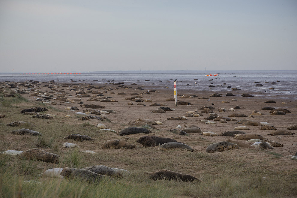 Тюленье лежбище
