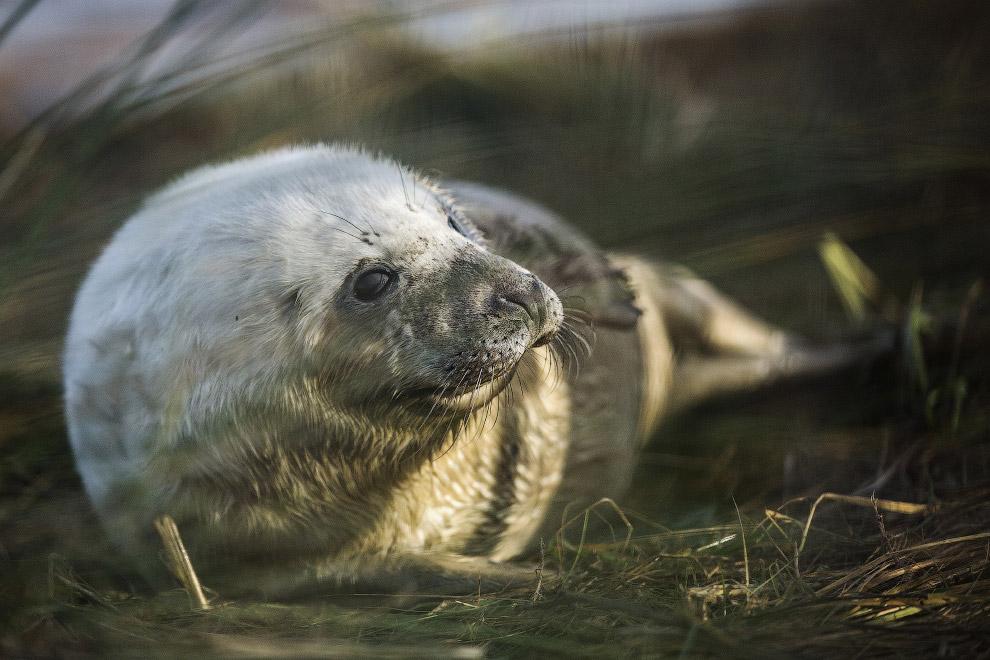 Тюлени графства Линкольншир