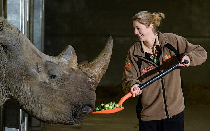 Обед из брюссельской капусты для белого носорога по кличке Дозер