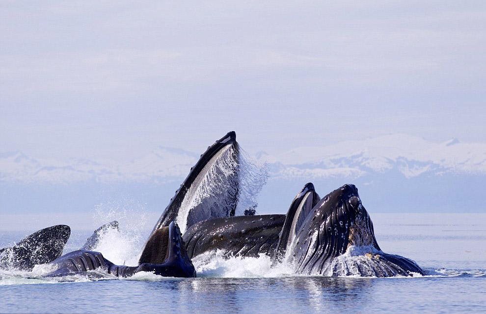 Горбатые киты на Аляске