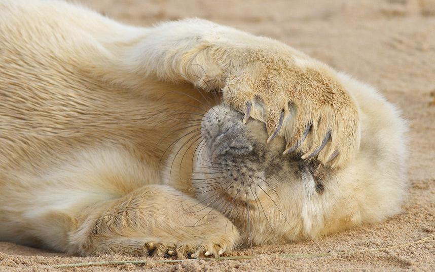 Застенчивый маленький тюлень на пляже в Линкольншире