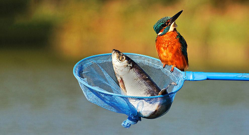 Нахальный зимородок размышляет, как украсть ужин у рыбака