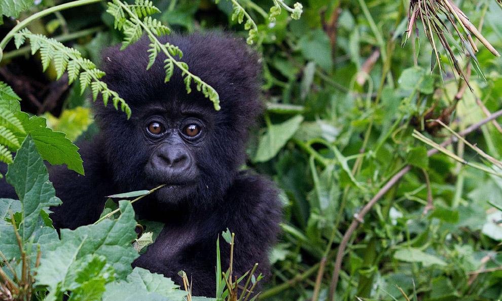 Застенчивая маленькая горная горилла