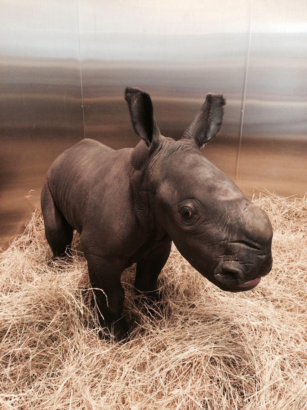 Белый носорог из Австралии