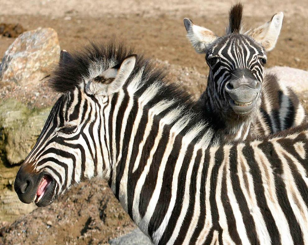 Зебры из зоопарка в Гамбурге, Германия