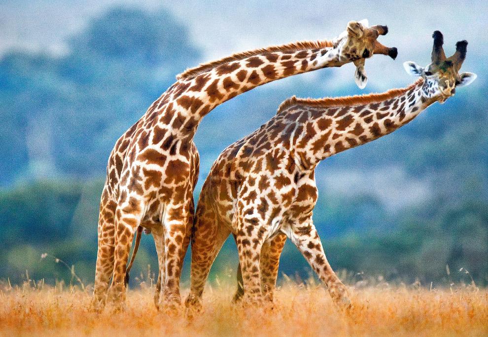 Танцы жирафов на равнине Масаи Мара, Кения