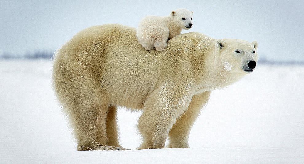 Белый медвежонок с мамой, Канада