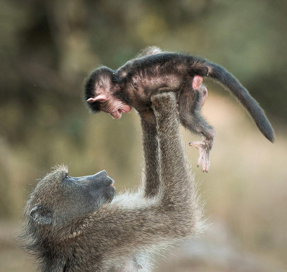 Бабуины в Национальном парке Крюгера в Южной Африке