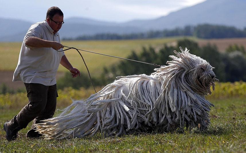 венгерские пастушьи собаки