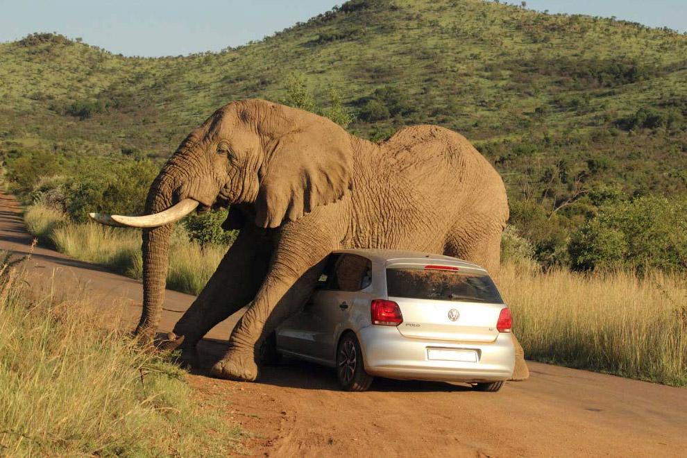 Слон против Фольксваген Polo