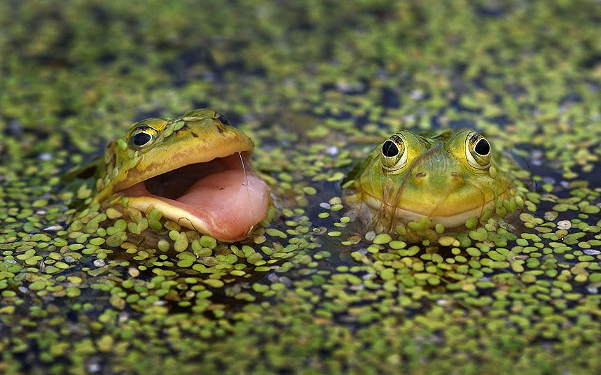 Лягушки в болоте в Москве