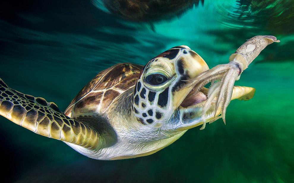Оливковая черепаха ловит кальмара