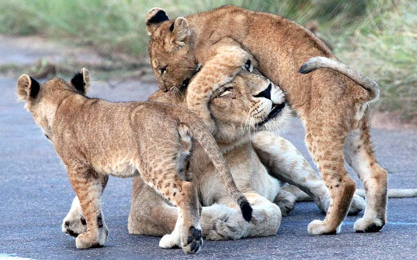 Львята играют со своей матерью в Национальном парке в Южной Африке