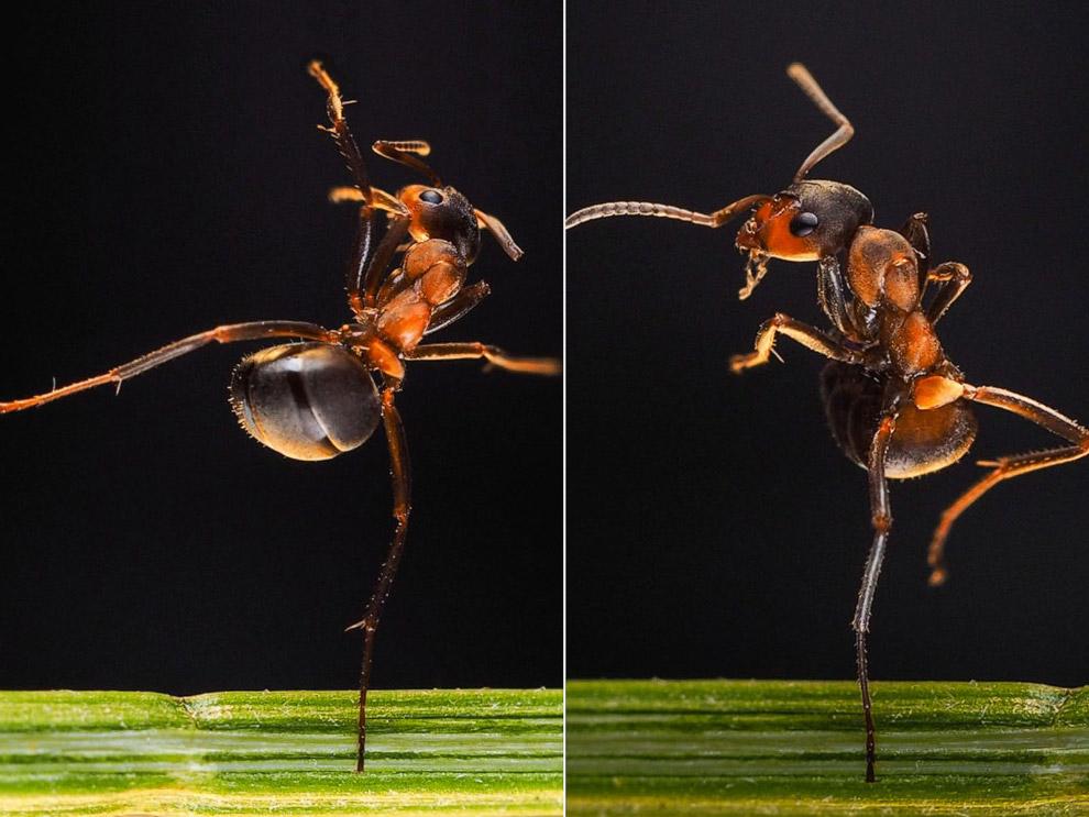 Танцующий муравей