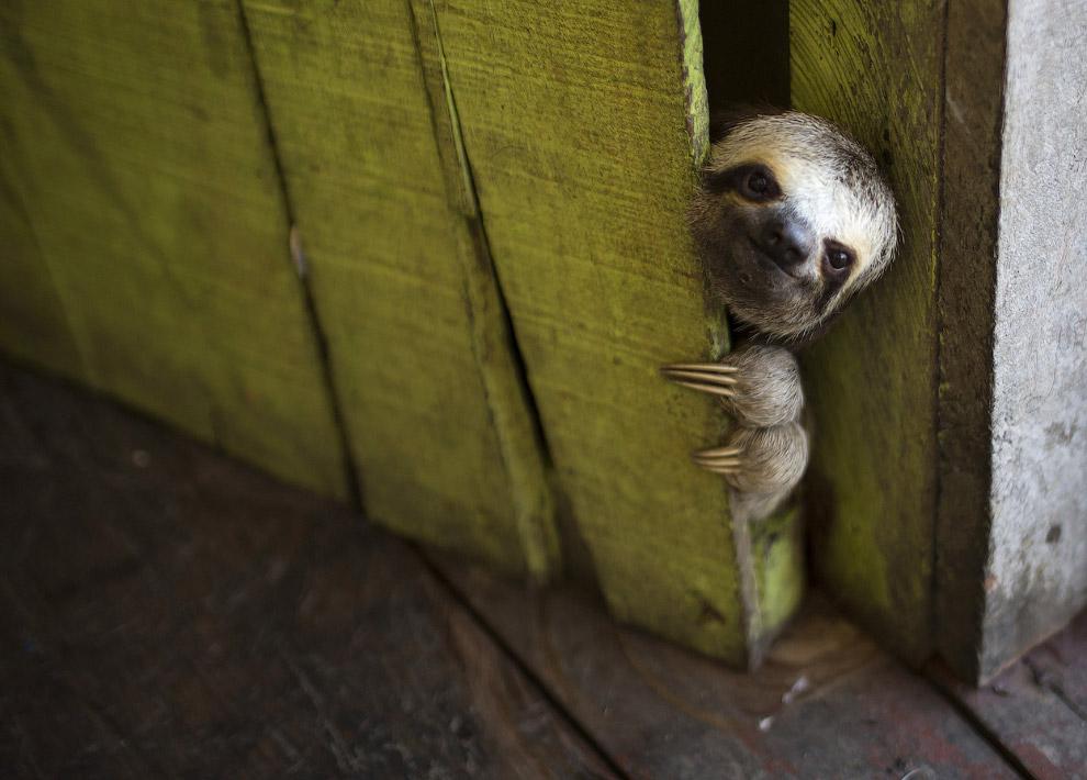 Ленивец выглядывает из-за двери в доме в Манаусе, Бразилия
