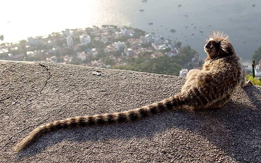 Любительница красивых видов с высоты черноухая игрунка сидит наверху горы Сахарная голова в Рио-де-Жанейро