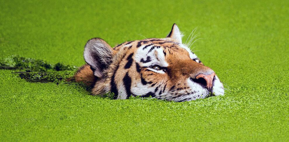 Тигр плавает в своем бассейне, покрытым ряской, в Копенгагенском зоопарке, Дания