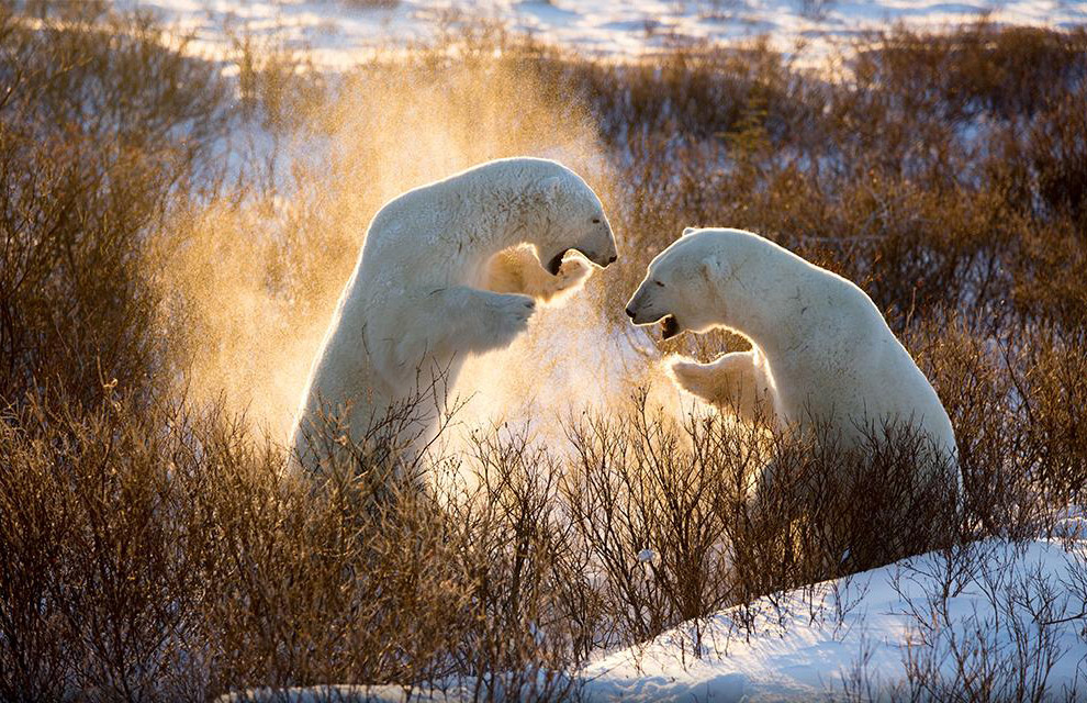 Игры белых медведей, Канада