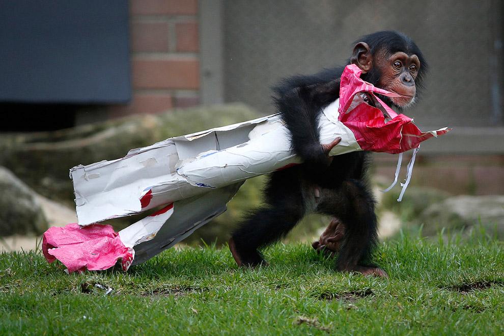 13-месячный шимпанзе из зоопарка Сиднея