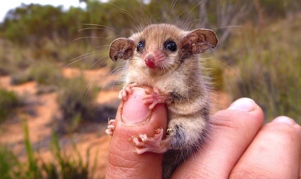 Карликовый опоссум из Австралии