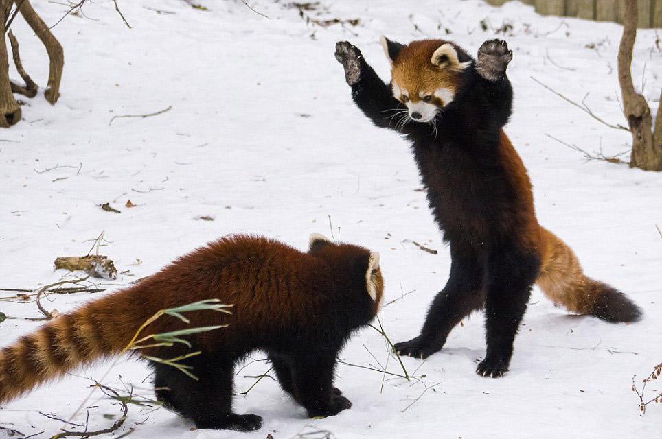 Чтобы казаться больше и сильнее, малые панды встают на задние лапы