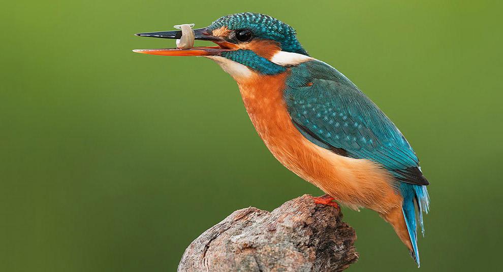 Зимородок с рыбой на коряге в Испании