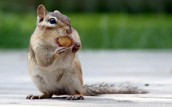 У жадного бурундука орех не влезает в рот, штат Онтарио, Канада