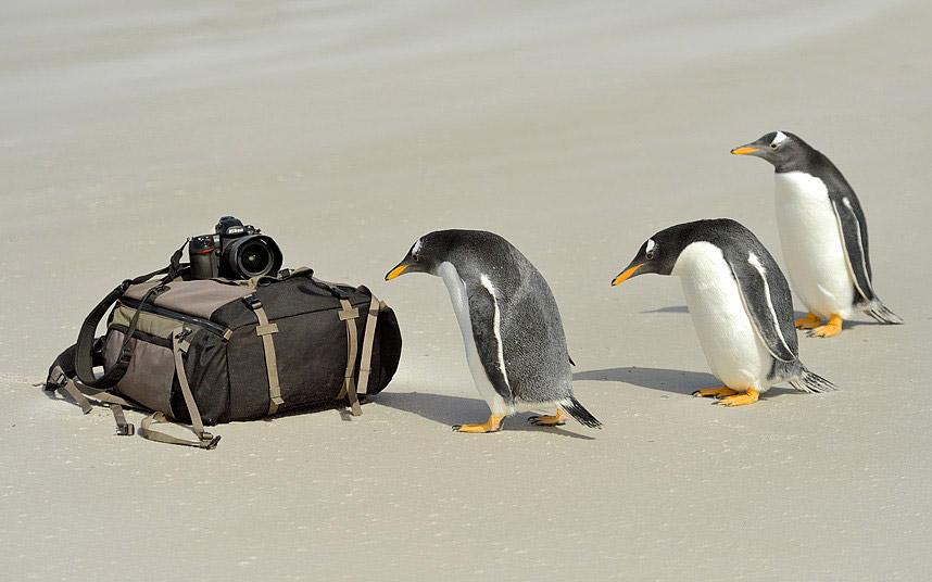 Любознательные пингвины изучают аппаратуру фотографа на Фолклендских островах
