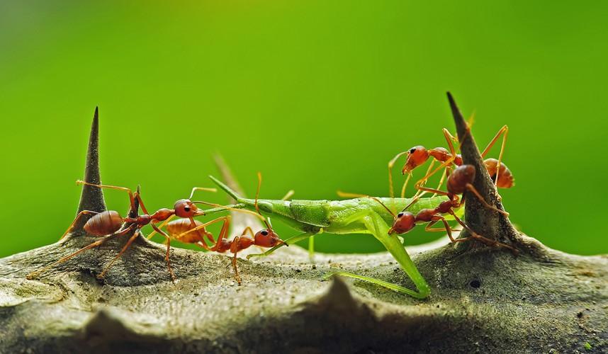 Красные муравьи около получаса пытались затащить к себе в колонию большого кузнечика
