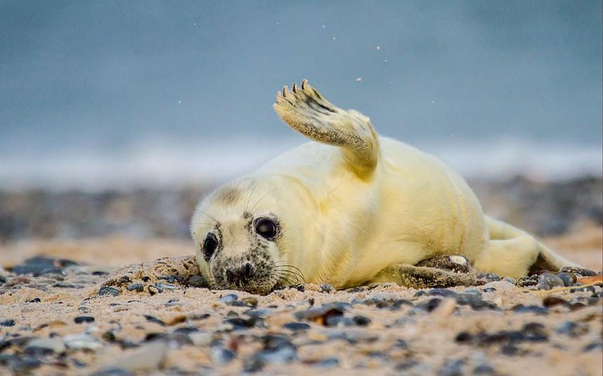 Маленький тюлень на острове Гельголанд, Германия