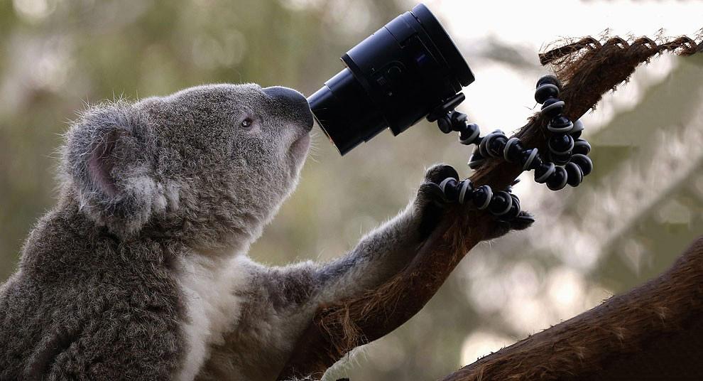 Австралийский коала делает автопортрет