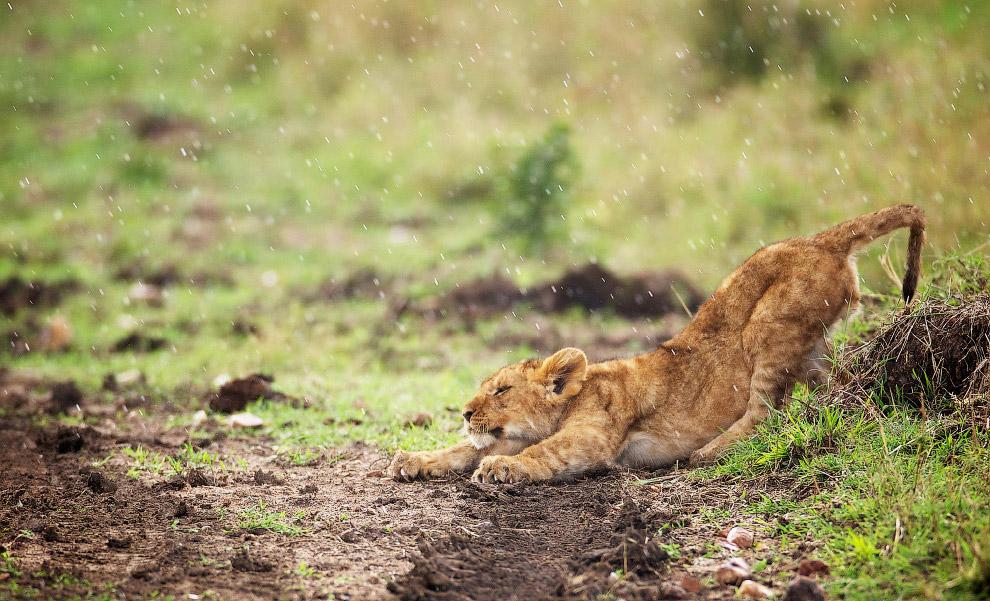 Львенок в заповеднике Масаи Мара в Кении