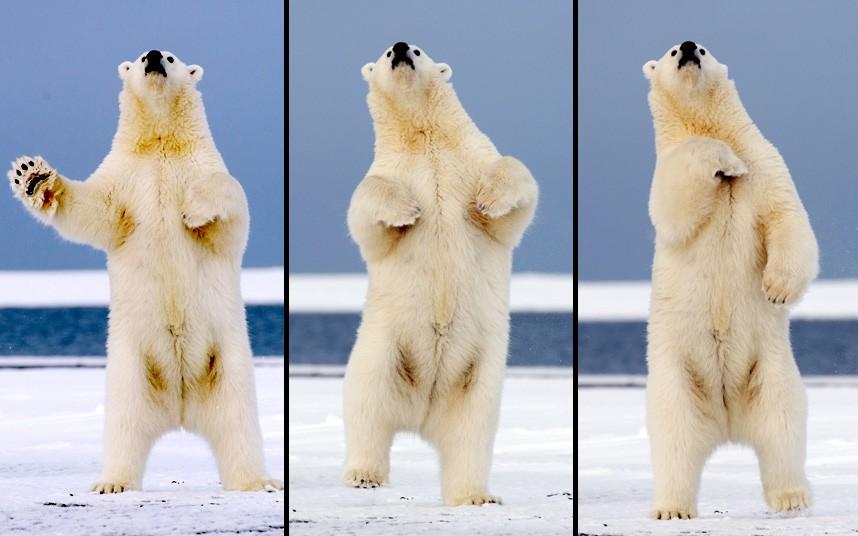 Танцующий медведь на Аляске