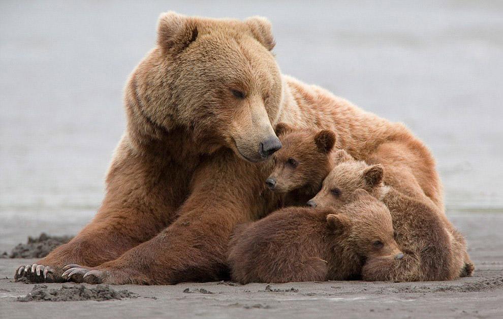 Дружная семья медведей гризли