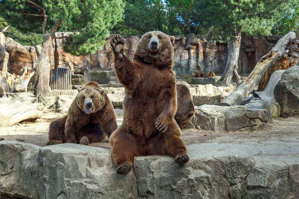 Медведи из зоопарка в Мадриде