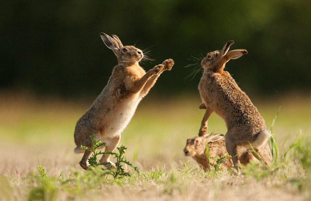 Боксерский поединок у зайцев в графстве Норфолк, Англия