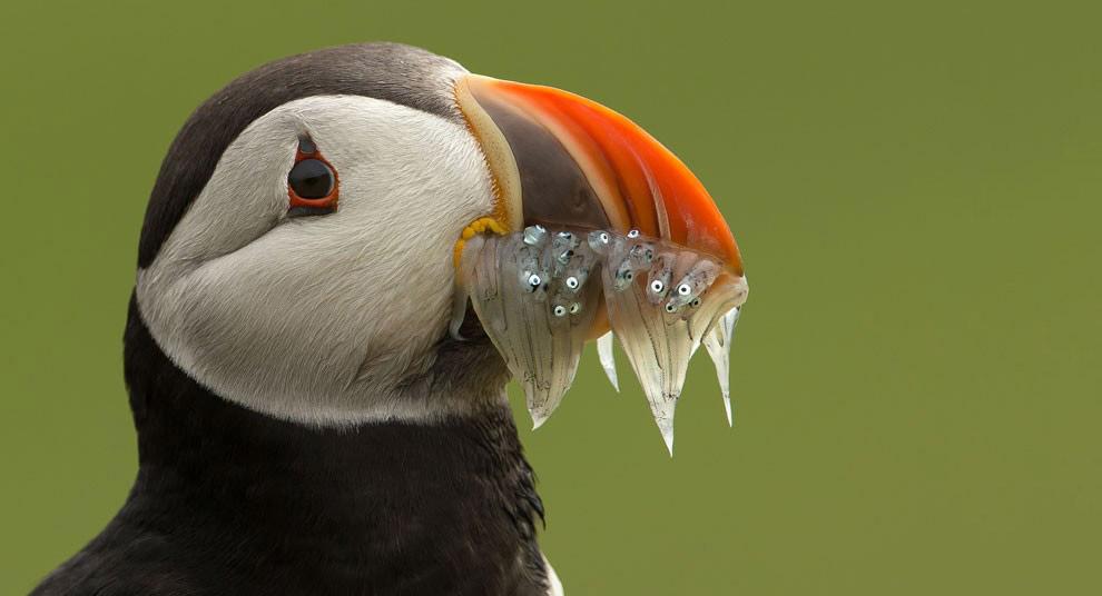 Жадный тупик с рыбой на Шетландских островах