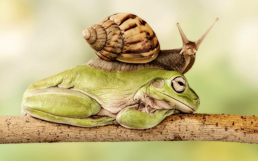 Улитке понадобилось 8 минут, чтобы залезть верхом на спокойно сидящую лягушку