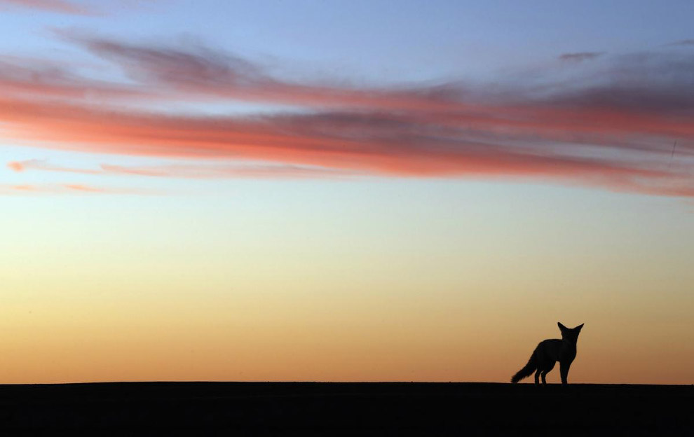 Молодой койот на трассе 4-го этапа ралли Дакар 2015