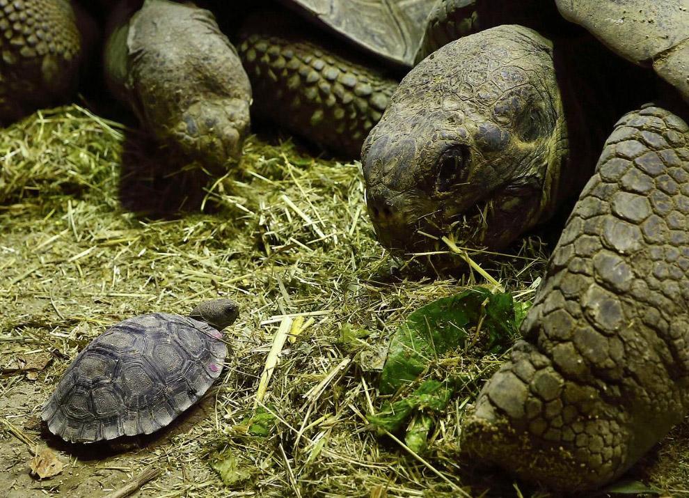 Галапагосские черепахи в зоопарке в Цюрихе