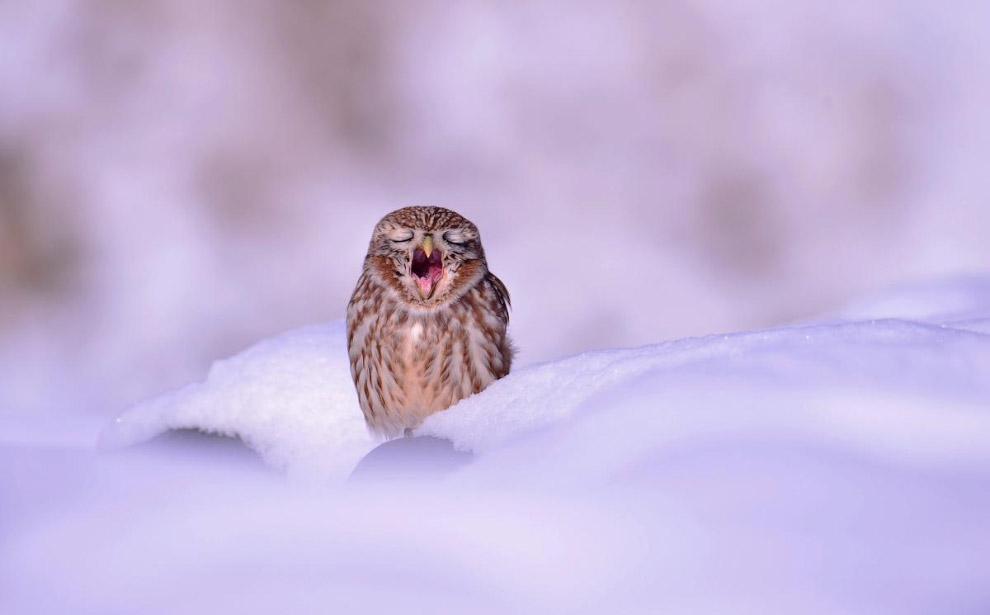 Сова в снегу из Южной Кореи