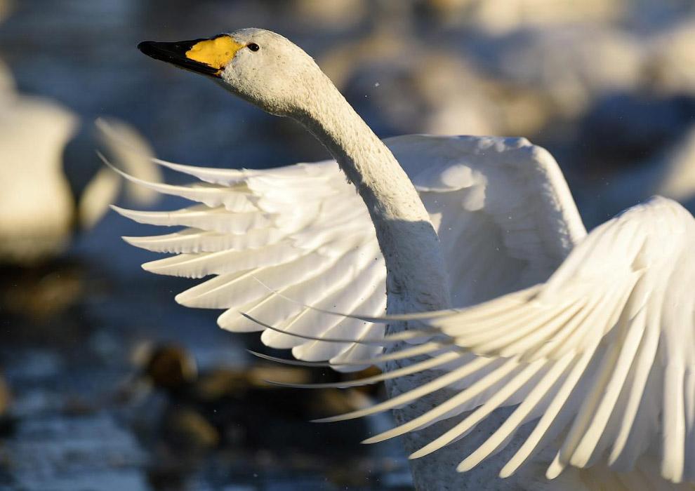 Лебедь в затопленном рисовом поле недалеко от Токио