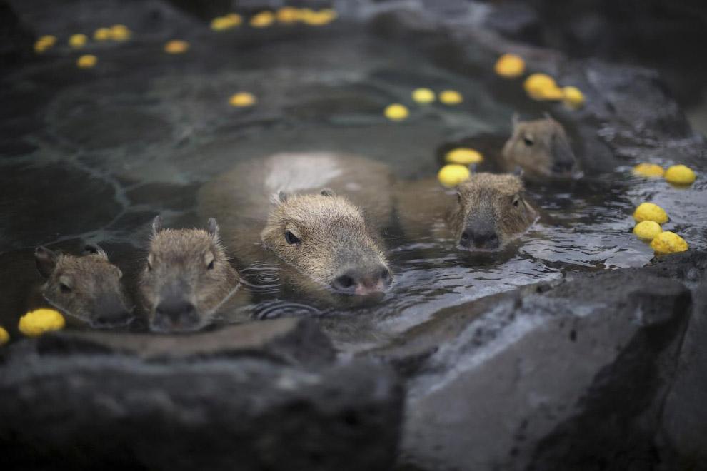 Капибары греются в горячих источниках в Японии
