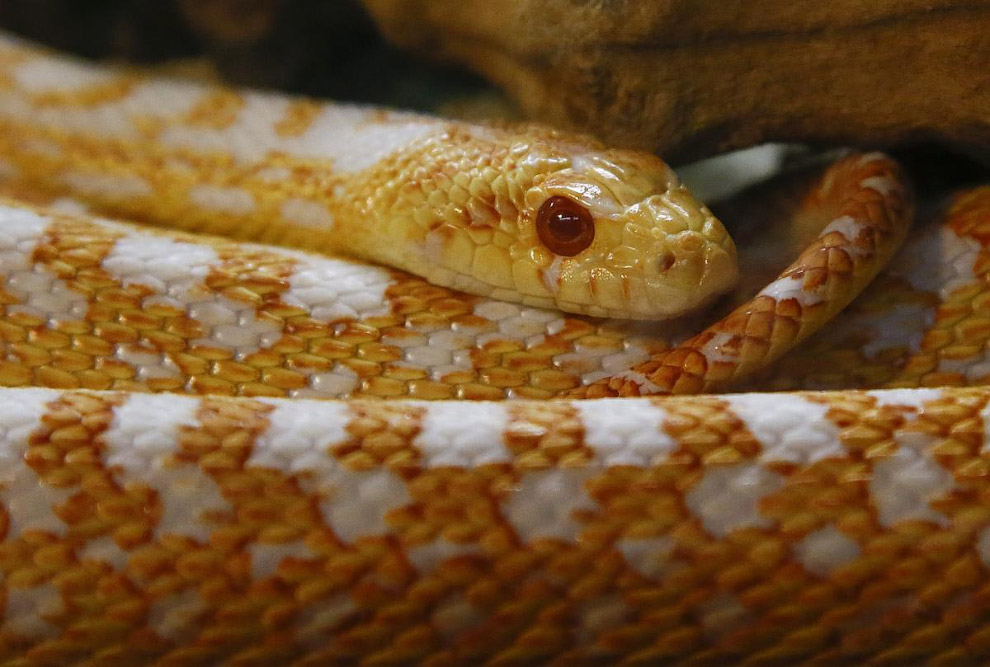 Гоферова (сосновая) змея в Кейптауне