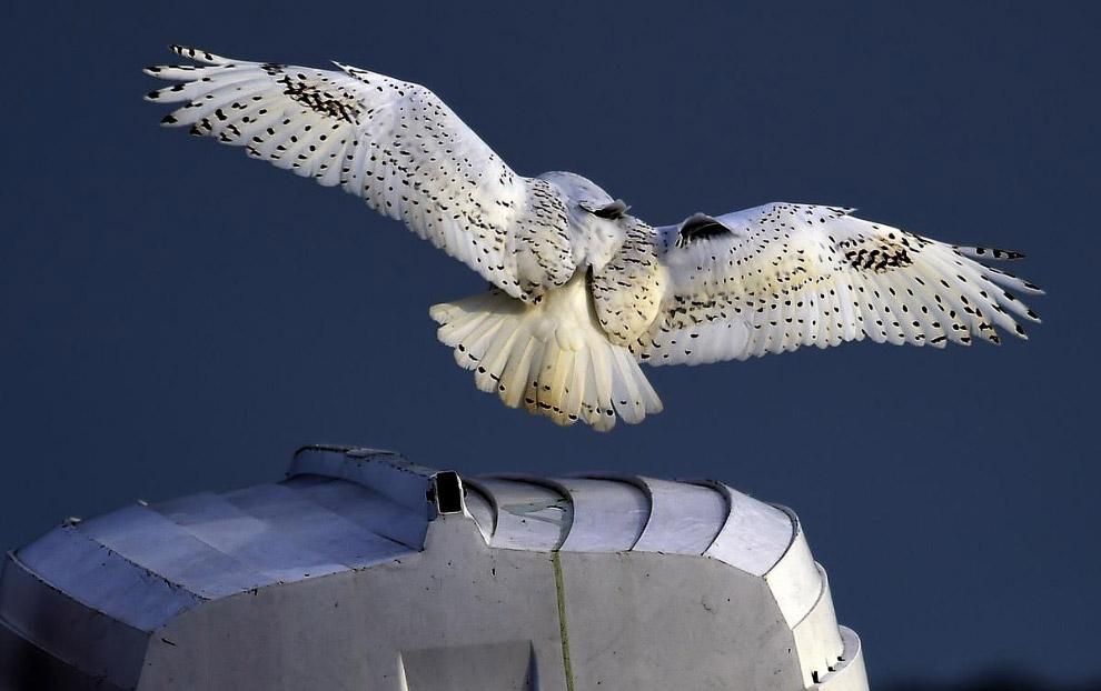Полярная сова вылетает из яхт-клуба в штате Висконсин