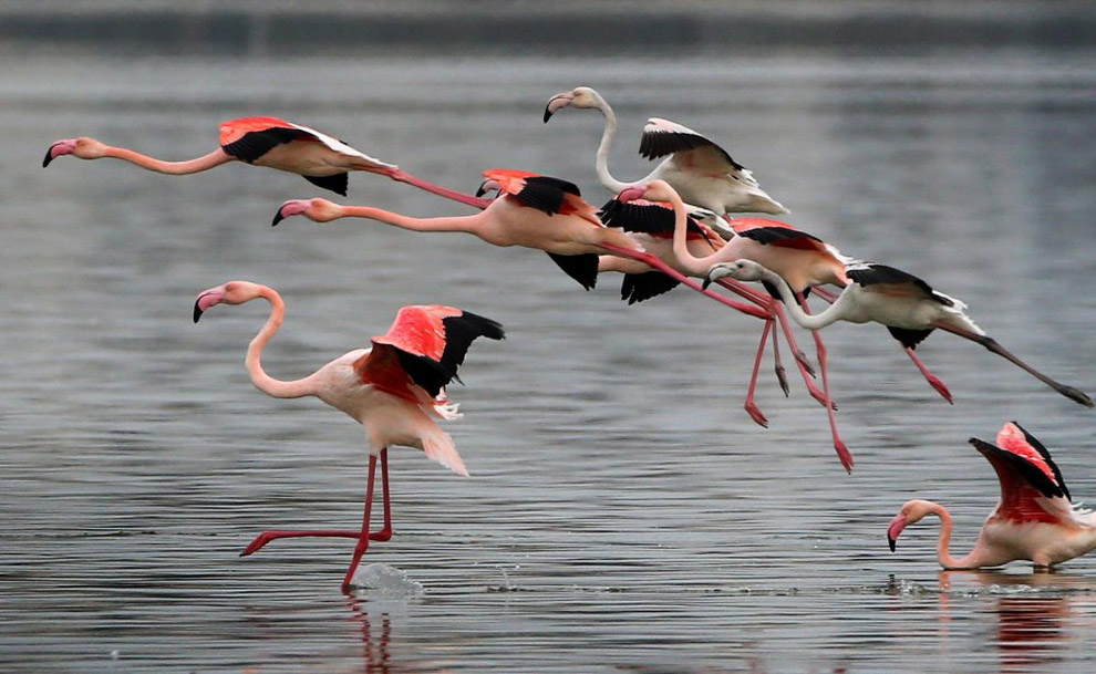Фламинго взлетают с озера в Ларнака, Кипр