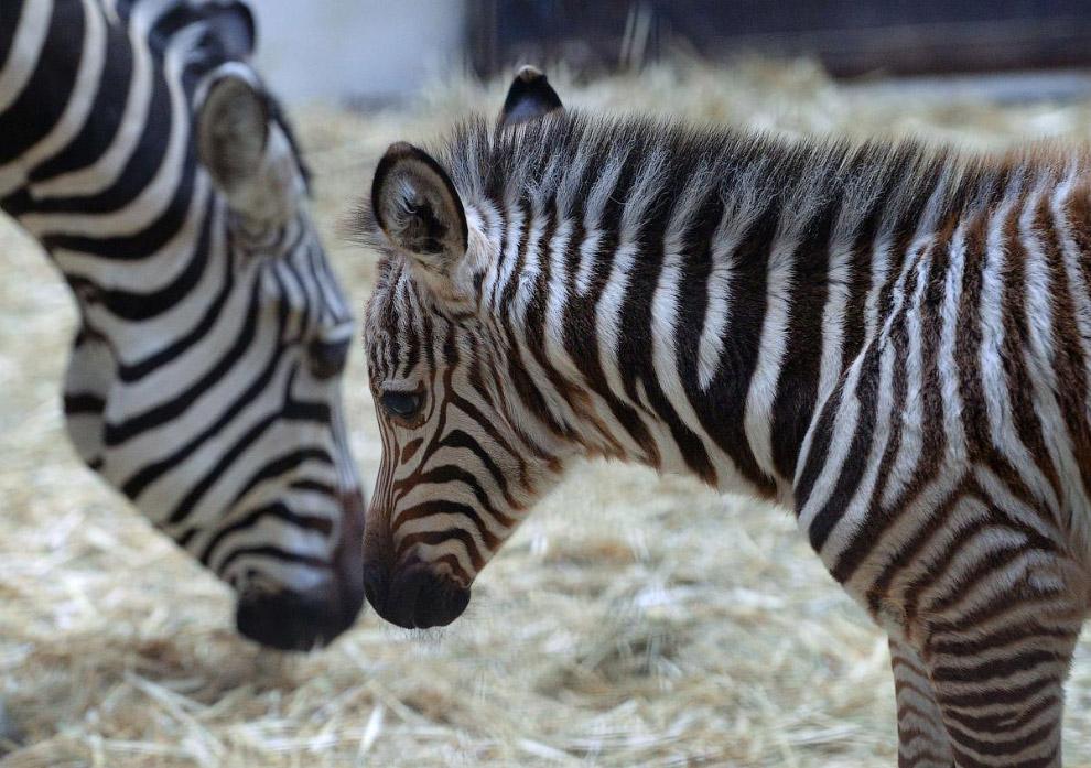 Саванные зебры в зоопарке Будапешта