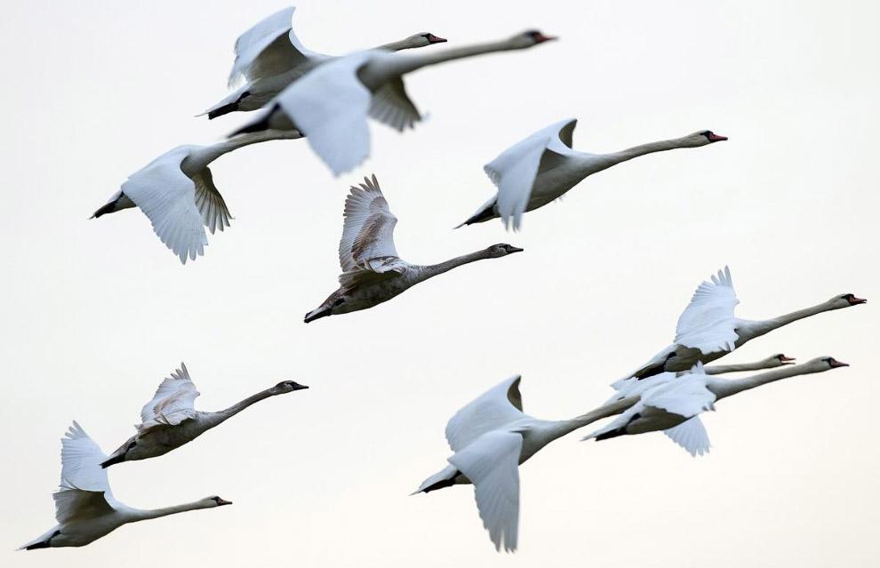 Лебеди в германии